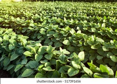 soybean plant images stock photos vectors shutterstock