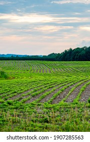 Rows of young soybeans in a Wisconsin farmfield, vertical