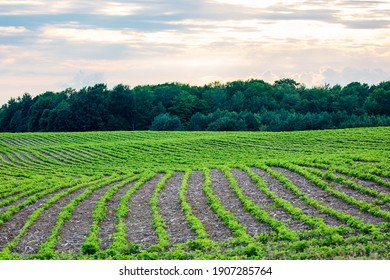 Rows of young soybeans in a Wisconsin farmfield, horizontal