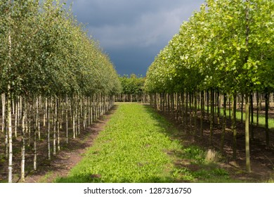 rows of young trees in a tree farm