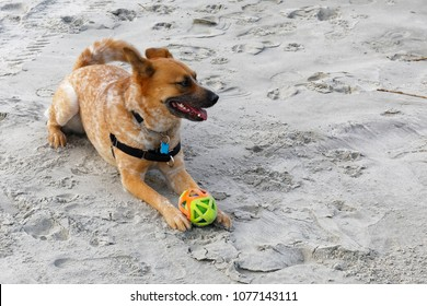 Roxy with her ball, resting for her next run on the beach.