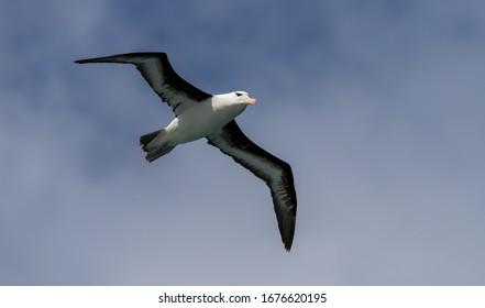"A Royal Albatross "" Diomedea epomophora "" soars over the South Atlantic ocean."