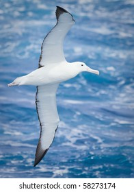 Royal Albatross in flight at Macquarie Island, Sub-antarctic Islands, Australia