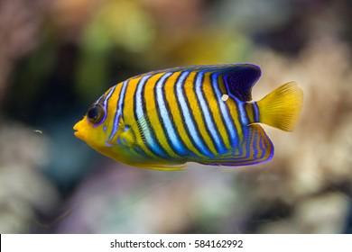 Royal angelfish (Pygoplites diacanthus), also known as the regal angelfish.