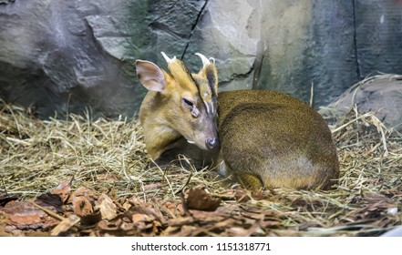 Royal antelope (Neotragus pygmaeus)-- West African antelope, recognised as the world's smallest antelope