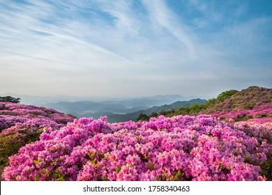 Royal azalea against blue sky at Hwangmaesan Mt near Hapcheon-gun, South Korea
