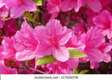 royal azalea blossom, violet, radiant color