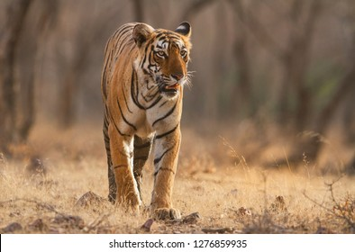 Royal Bengal strolling in the forest of Ranthambhore