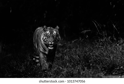 Royal Bengal Tiger in Black and white , Bandhavgarh