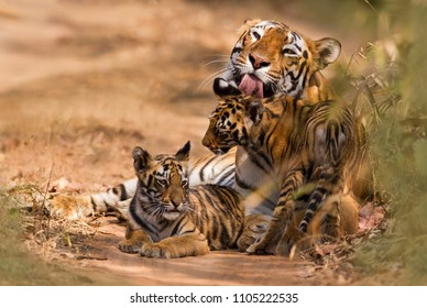 Tiger Stripes Images Stock Photos Amp Vectors Shutterstock