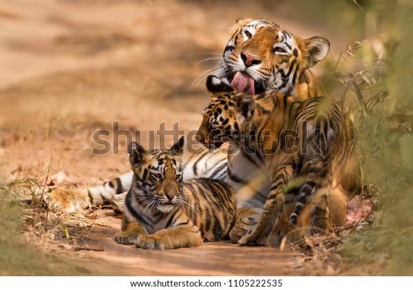 Tigre royal du Bengale avec petit bébé