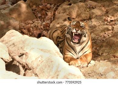 Royal Bengal tiger is displaying a big yawn showing tongue and teeth in ranthambhore national park