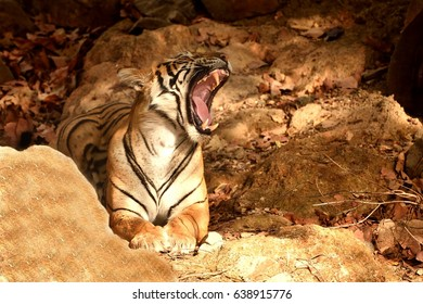 Royal Bengal tiger giving a big yawn showing tongue and teeth in ranthambhore national park