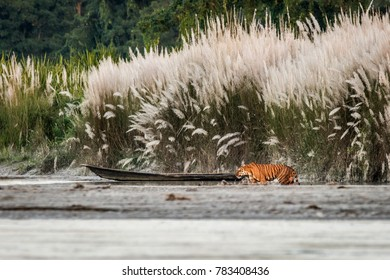 The Royal Bengal tiger with her royal habitat, and I tried to maintain frame with it's habitat, and here's the result, wildlife in landscape. Panthera tigris tigris at Orang National Park, Assam, IND