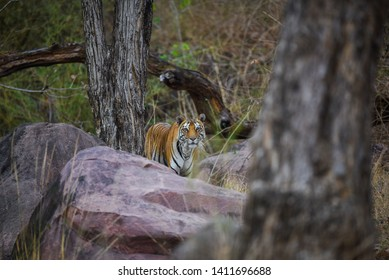 A royal bengal tiger on stroll for scent marking in his territory. A head on shot of a pregnant tigress at kanha national park, madhya pradesh, india