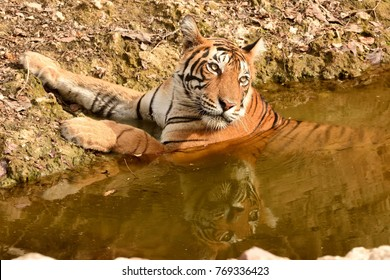 Royal Bengal tiger resting and cooling off in water body in ranthambhore national park