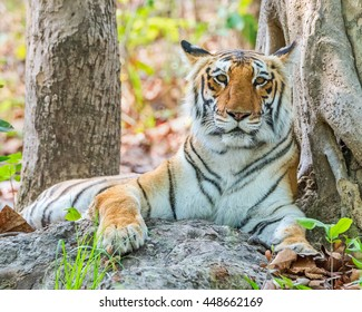 Royal Bengal tiger resting  at Jim Corbett National park