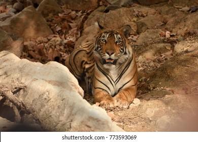 Royal Bengal tiger resting Under the tree shade ranthambhore national park