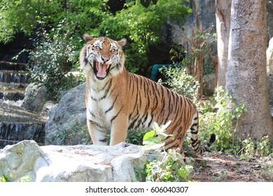 Royal bengal tiger is roaring.