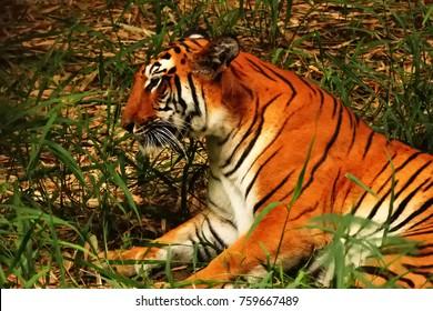 Royal Bengal tiger at Sundarban