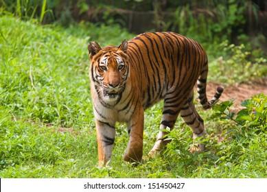 Royal bengal tiger. Sundarban National Park. India