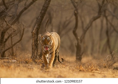 Royal Bengal Tiger walking in the dry forest of Ranthambhore National Park