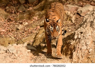 Royal Bengal tiger walking towards one of the water hole of Ranthambhore national park