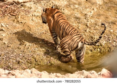Royal Bengal tigress going inside water hole of Ranthambore national park