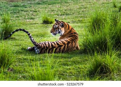 Royal Bengal Tigress named  Krishna (T-19) take a rest at Ranthambore Forest