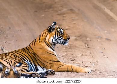 Royal Bengal Tigress named Noor in watching