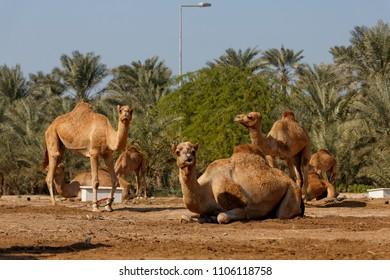 Royal Camel Farm, Kingdom of Bahrain.