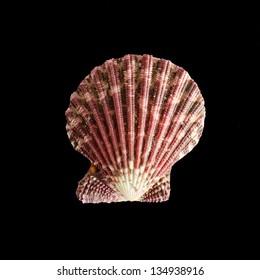 Royal cloak violet brown scallop seashell on black background
