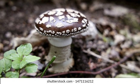 Royal fly agaric Mushroom - Amanita regalis - King of Sweden Amanita - Fungi - Detail