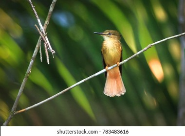 A royal flycatcher (Onychorhynchus coronatus) perched on a branch in Belize.