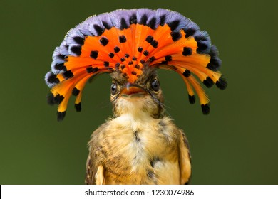 Royal Flycatcher, a tropical bird from Central and South America displaying its bright red crest.