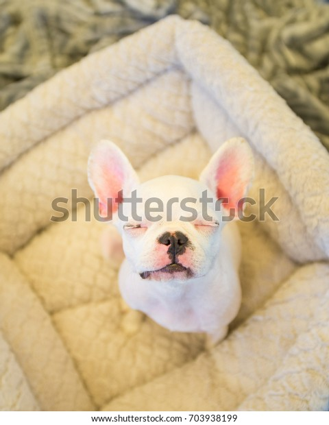 Royal Frenchel Puppy Stock Photo (Edit Now) 703938199