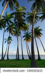 Royal Kamehameha Coconut Palm grove on Molokai at sunset