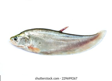 Royal knifefish isolated on a white background
