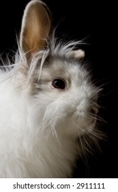 the royal lionhead's rabbit
