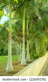 Royal Palm in a corner of a tropical garden in the city of Holon Israel.