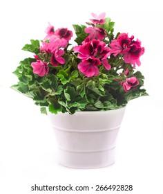 Royal pelargonium flowers - Pelargonium grandiflorum in the pot