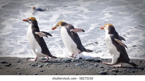 Royal Penguins, Eudyptes schlegeli at Sandy Bay on Macquarie Island, Sub-antarctic Islands, Australia
