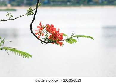 Royal Poinciana or Delonix regia flower on white background, Beautiful Gulmohar flowers, Delonix regia in blossom isolated on white