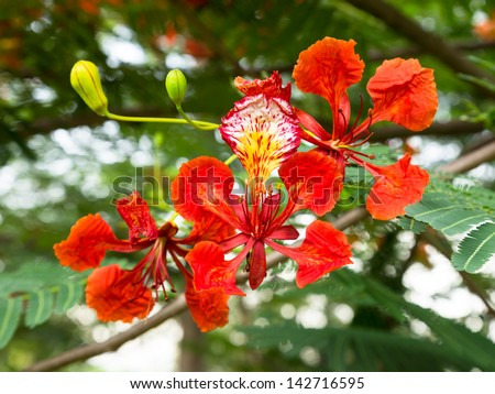 Royal Poinciana or Flamboyant (Delonix regia)