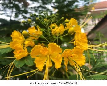 Royal Poinciana, Flamboyant, Flame Tree, yellow flower.