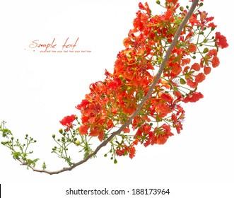 Royal Poinciana, Flamboyant, Flame Tree,  isolated on white background