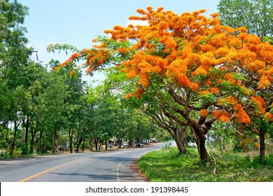 Royal Poinciana, Flamboyant, Flame Tree, that is the way of the countryside.