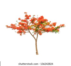 Royal Poinciana or Flamboyant tree (Delonix regia), tropical tree in the northeast of Thailand isolated on white background