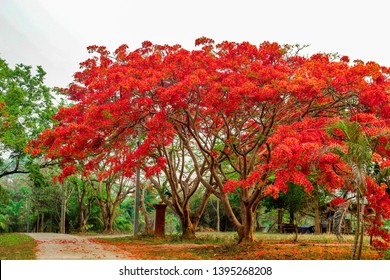 Royal poinciana, flame tree, flamboyant tree. Amazing red and yellow leaved tree in northern Thailand.
