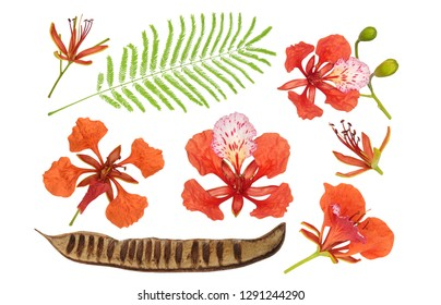 Royal Poinciana flowers,  leaves,  bean pod for tropical for design patterns, Flame or Peacock Tree, Blood of Jesus, Flamboyant, Delonix Regia, closeup isolated on white background